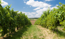Grape garden in Moravia Royalty Free Stock Image