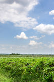 Grape garden and sky Royalty Free Stock Images
