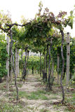 Grape garden in the south moravia. Czech republic Royalty Free Stock Images