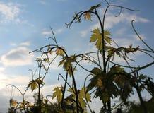 Grape in a garden royalty free stock photo