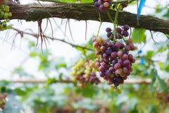 Grape in gatden at Monjam , Chiangmai ,Thailand Stock Photo
