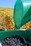 Grape Gathering Royalty Free Stock Image