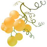 Grape gold. Cluster with water drops illustration Stock Images