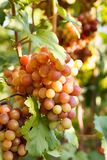 Grape on grape vine with green leaves. On suset royalty free stock images