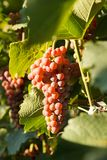 Grape on grape vine with green leaves. On suset royalty free stock photography