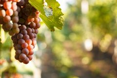 Grape on grape vine with green leaves. On suset royalty free stock photo