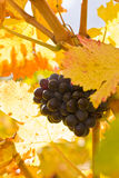 Grape on a grapevine. In France Stock Photos