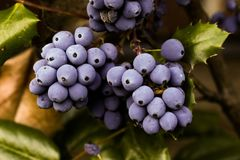 Grape, Grapevine Family, Blueberry, Fruit Royalty Free Stock Photo