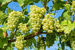 Grape, Grapevine Family, Seedless Fruit, Fruit