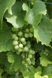 Grape, Grapevine Family, Seedless Fruit, Vitis stock photo
