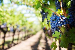 Grape, Grapevine Family, Vitis, Fruit Royalty Free Stock Photo