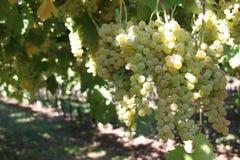 Grape, Grapevine Family, Vitis, Plant stock photography