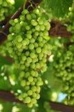 Grape, Green, Grapevine Family, Seedless Fruit Stock Image
