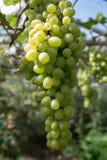 Grape. Stock Photography