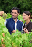 Grape growers. Picking grapes in their vineyard Stock Images