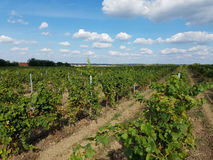 Rural Vineyard. Several cultivars in home vineyards are used primarily for wine or juice, but also marketed as table grapes. These include Concord, Niagara Royalty Free Stock Image
