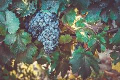 Grape growing. Ripe blue grape growing in Crimea, Ukraine Stock Photos