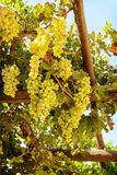 Grape growing on vine Royalty Free Stock Photography
