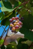 Grape growing, white and red variety. Italian agriculture Stock Photography