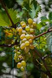 Grape growing, white and red variety. Italian agriculture Royalty Free Stock Photo