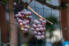 Grape growing, white and red variety. Italian agriculture Stock Photo