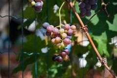 Grape growing, white and red variety. Italian agriculture Stock Photos