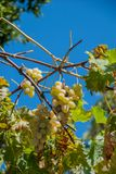 Grape growing, white and red variety. Italian agriculture Stock Image