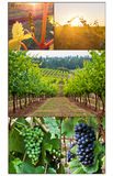 Grape growth in multiple images of vineyard. From bud to final clusters of grapes royalty free stock images