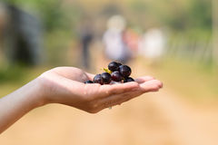 Grape on the hand Stock Image