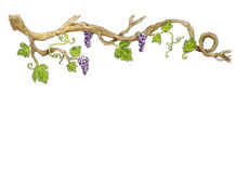 Grape Hand drawn illustration. Grape branch Hand drawn illustration. White background royalty free illustration