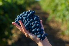 Grape in hands. Red grapes in woman hands. Bunch of grapes Stock Photos