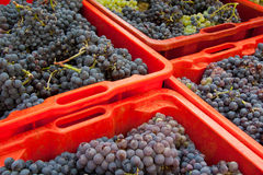 Grape harvest 01. Red plastic boxes filled of wine grapes, during grape harvest in Chianti area in Italy Stock Image