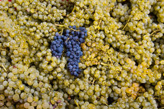 Grape harvest 03 Royalty Free Stock Photo