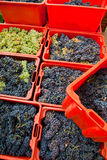 Grape harvest 10 Stock Images
