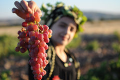 Grape Harvest Royalty Free Stock Images