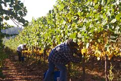 Grape Harvest. Two men harvesting grapes in a vine row Stock Photography