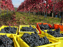 Grape harvest. Harvest of rare Cabernet Mitos grapes with typical red leaves Stock Image