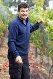 Grape Harvest Stock Images