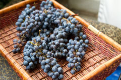Grape Harvest. Basket of Zinfandel Grapes ready to crush for wine Stock Photography