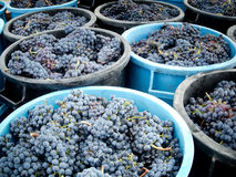 Grape harvest Stock Photography