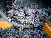 Grape harvest. Container with grapes during the harvest Royalty Free Stock Image