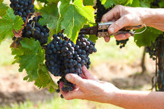 Grape harvest Stock Photos