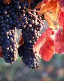 Grape Harvest Royalty Free Stock Photography