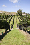 Grape Harvest. Grapes ready for Harvest, Havelock North, Hawke's Bay Stock Photography