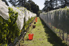 Grape Harvest. Grapes being harvested, Havelock North, Hawke's Bay Royalty Free Stock Images
