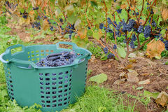 Grape harvest Royalty Free Stock Photo