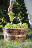 Grape harvest basket, Worker`s hand collects and puts the bunch royalty free stock photography