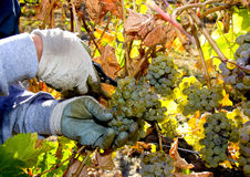 Grape harvest being picked by hand Royalty Free Stock Photos