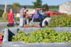 Grape harvest Stock Images