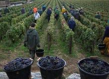 Grape harvest Royalty Free Stock Photography